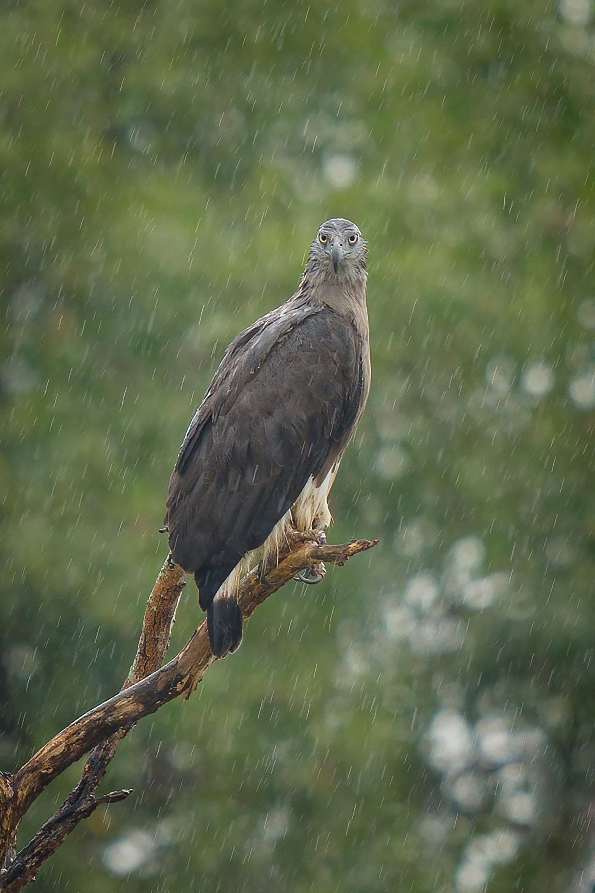 Sony Alpha 7R IV is hardy in wet conditions. Grey-Headed Fish Eagle in rain with approx. 3.8x crop, captured by Sony Alpha 7R IV.