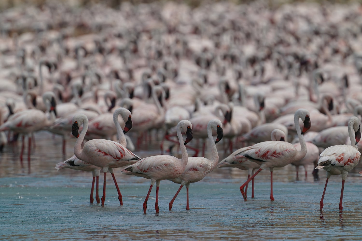 flock-of-flamingos-standing-in-lake-alpha-7III