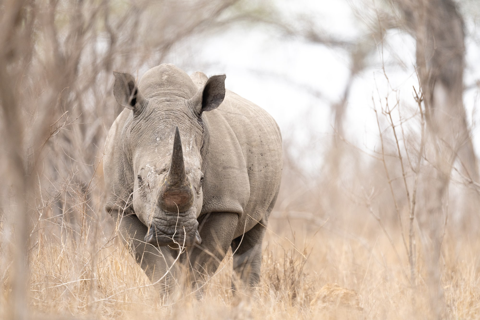African white rhino in the safari