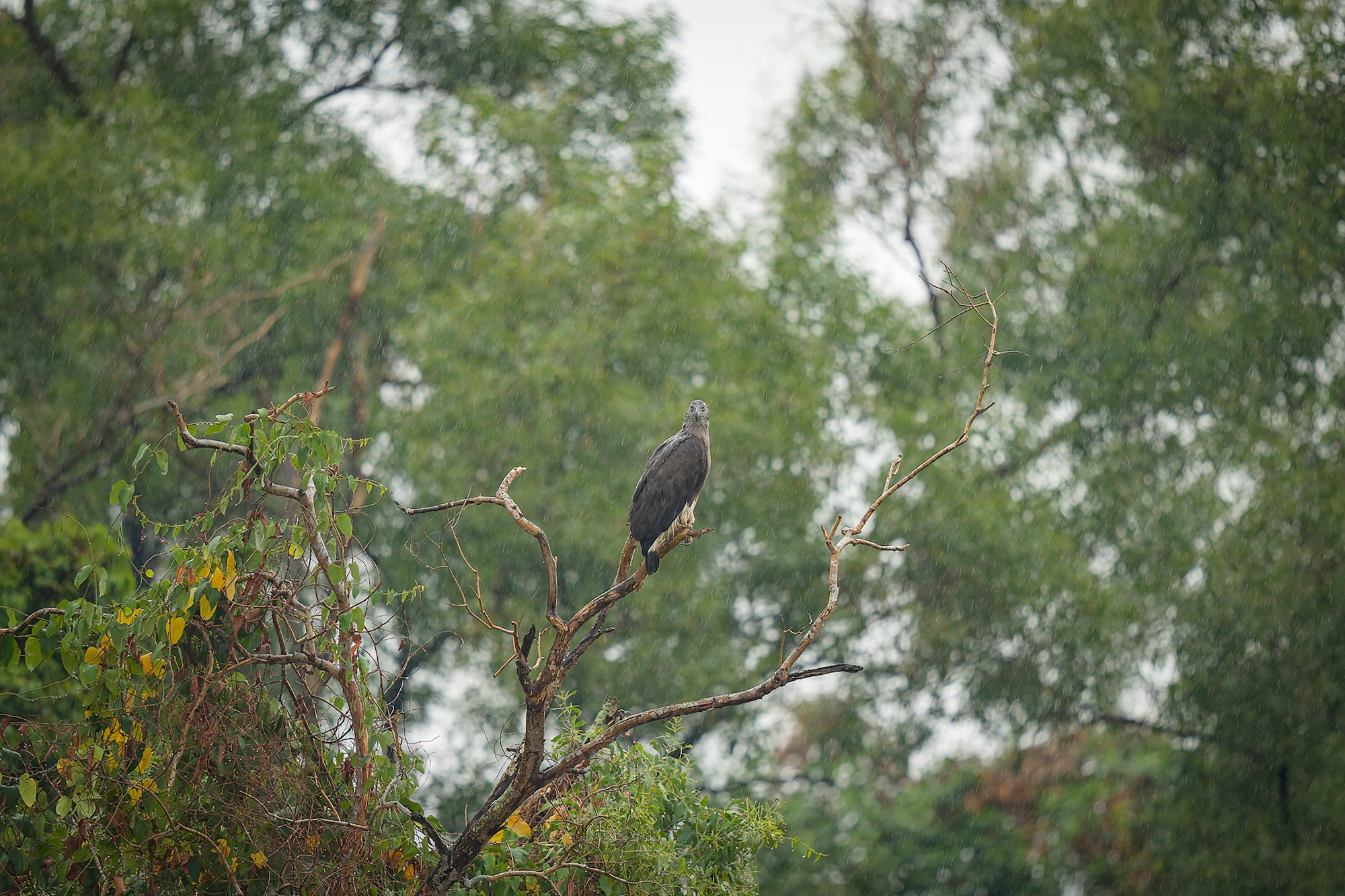 Silent shooting with Sony Alpha 7R IV leaves Grey-Headed Fish Eagle undisturbed in rain. Perfect for bird photography.