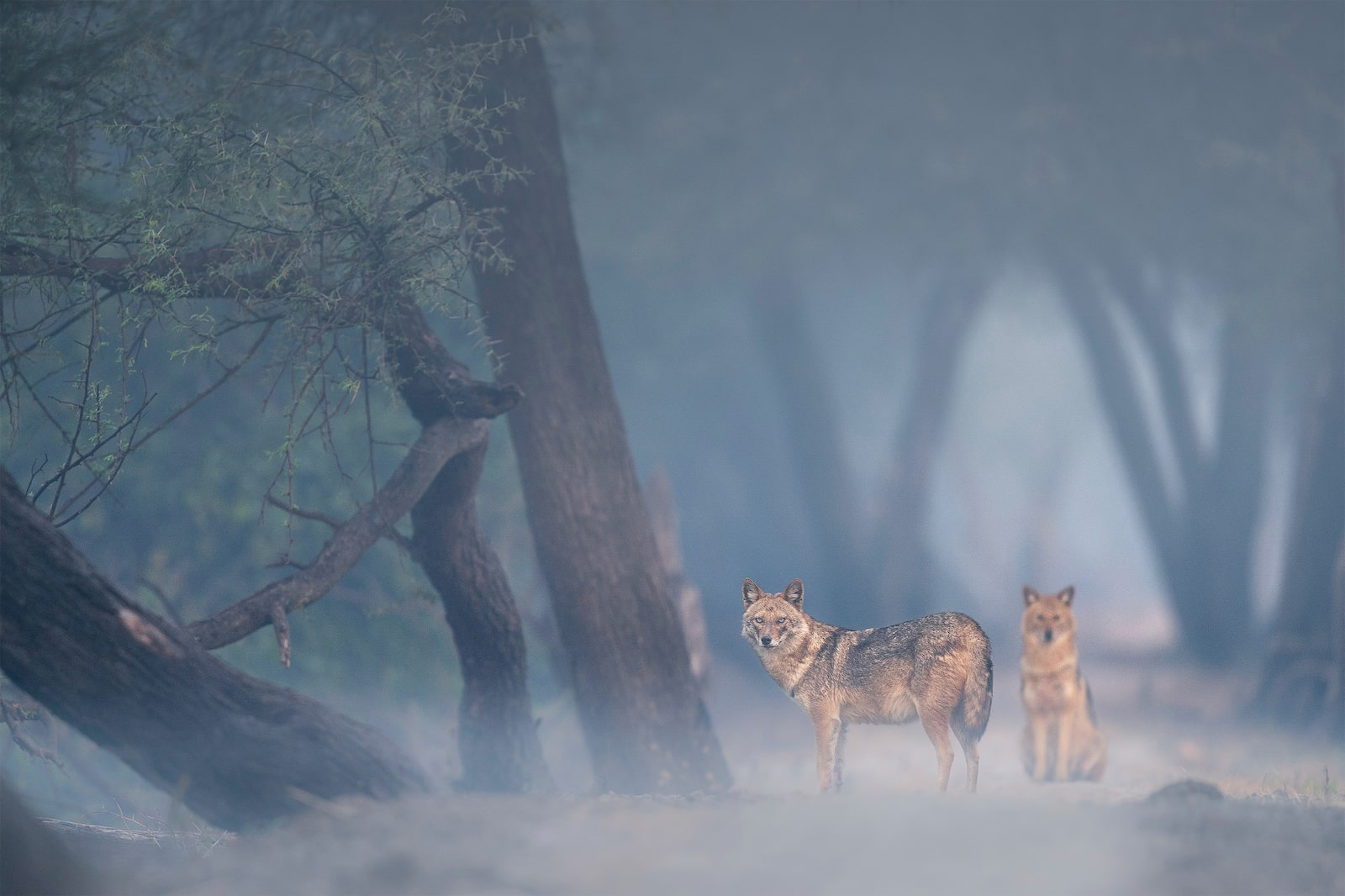 wolves in foggy forest alpha 9