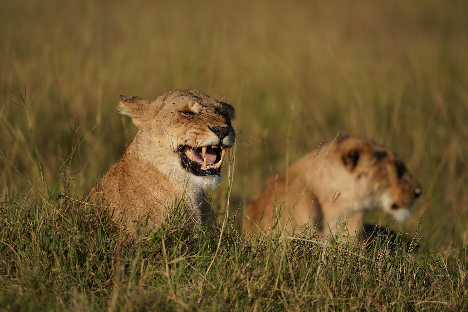 lions-lazing-in-the-grass-alpha-7III