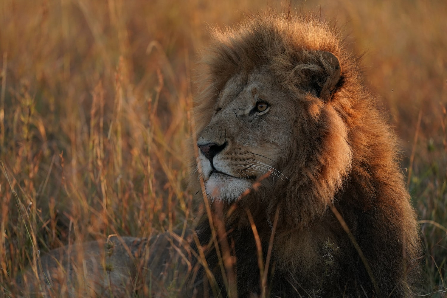 lion-observing-in-savannah-alpha-9