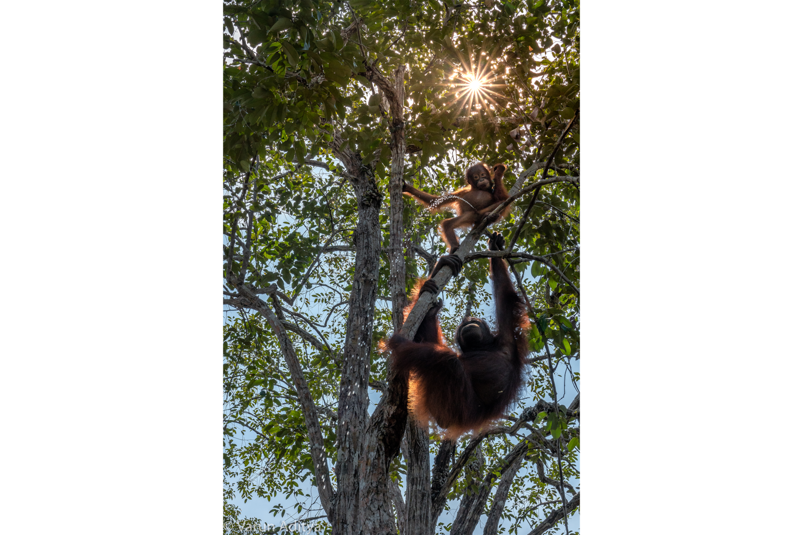 orangutans playing in tree alpha 7RIII
