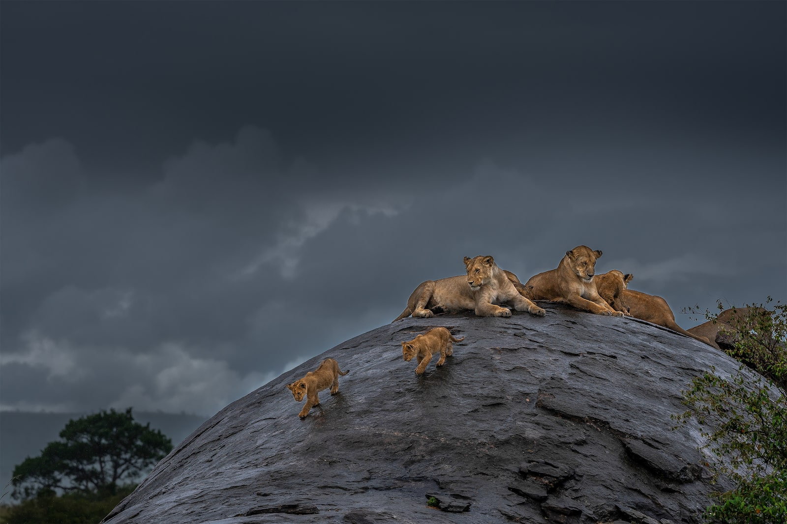 lionesses with cubs on rock alpha 7RIII