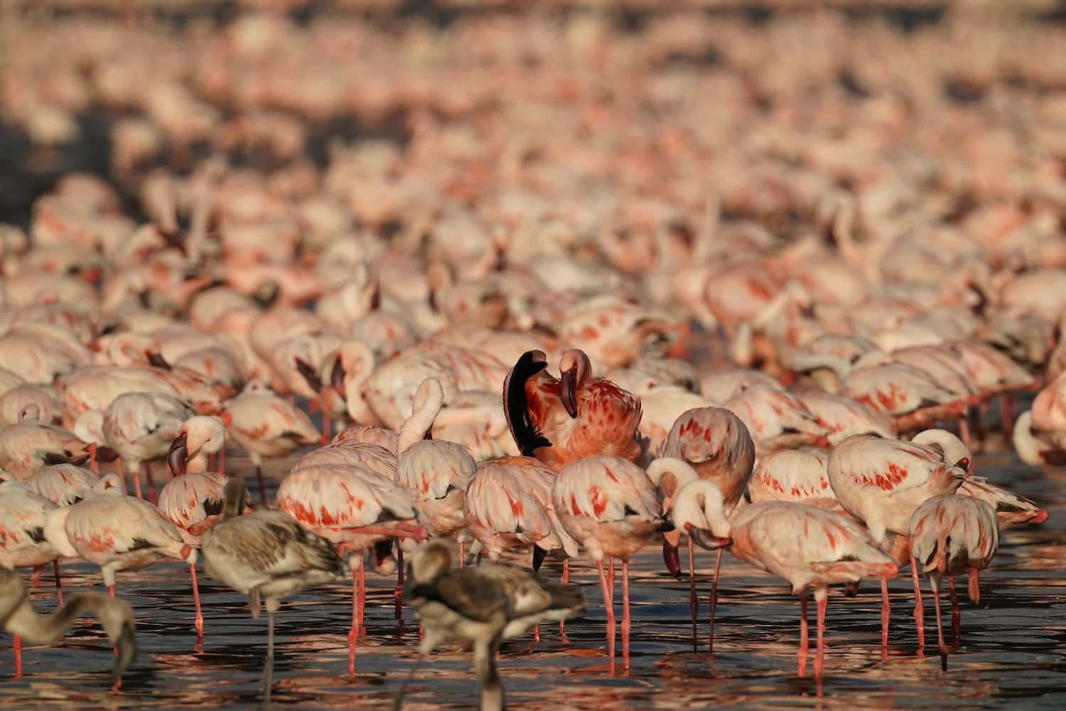 flock-of-flamingos-standing-in-lake-in-the-golden-hour-alpha-7III