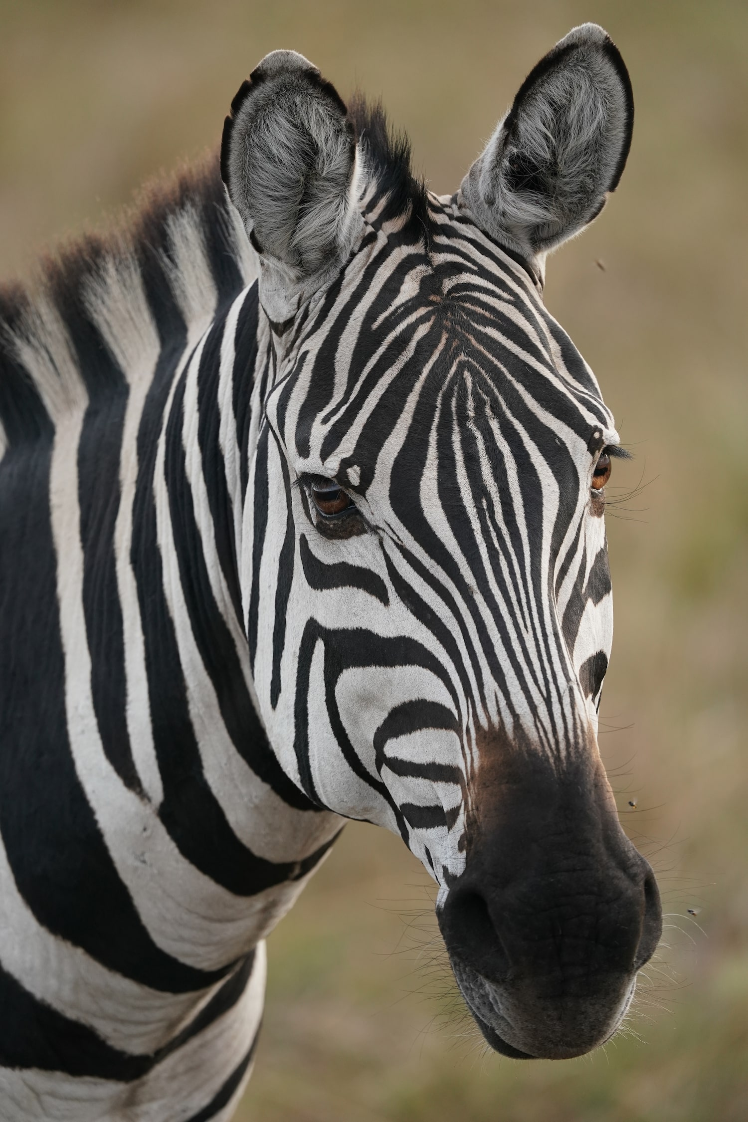 face-shot-zebra-portrait-alpha-7III