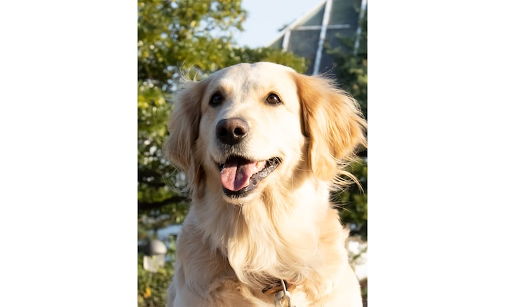 Golden retriever dog, clear with AI super resolution zoom