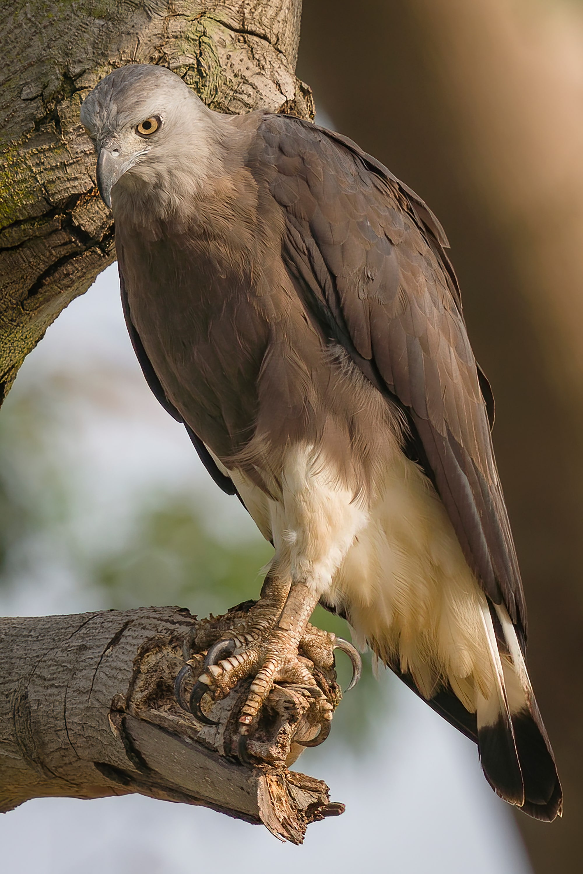 Sony Alpha 7R IV's 61 megapixels retain high resolution even after approx. 2.7x crop of Grey-Headed Fish Eagle on branch.