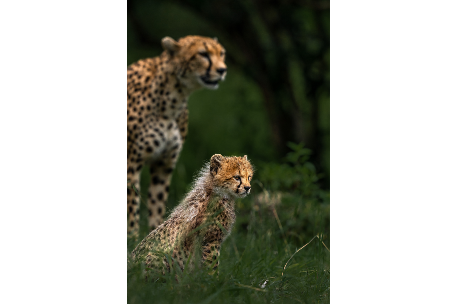 cheetah with cub staring alpha 9
