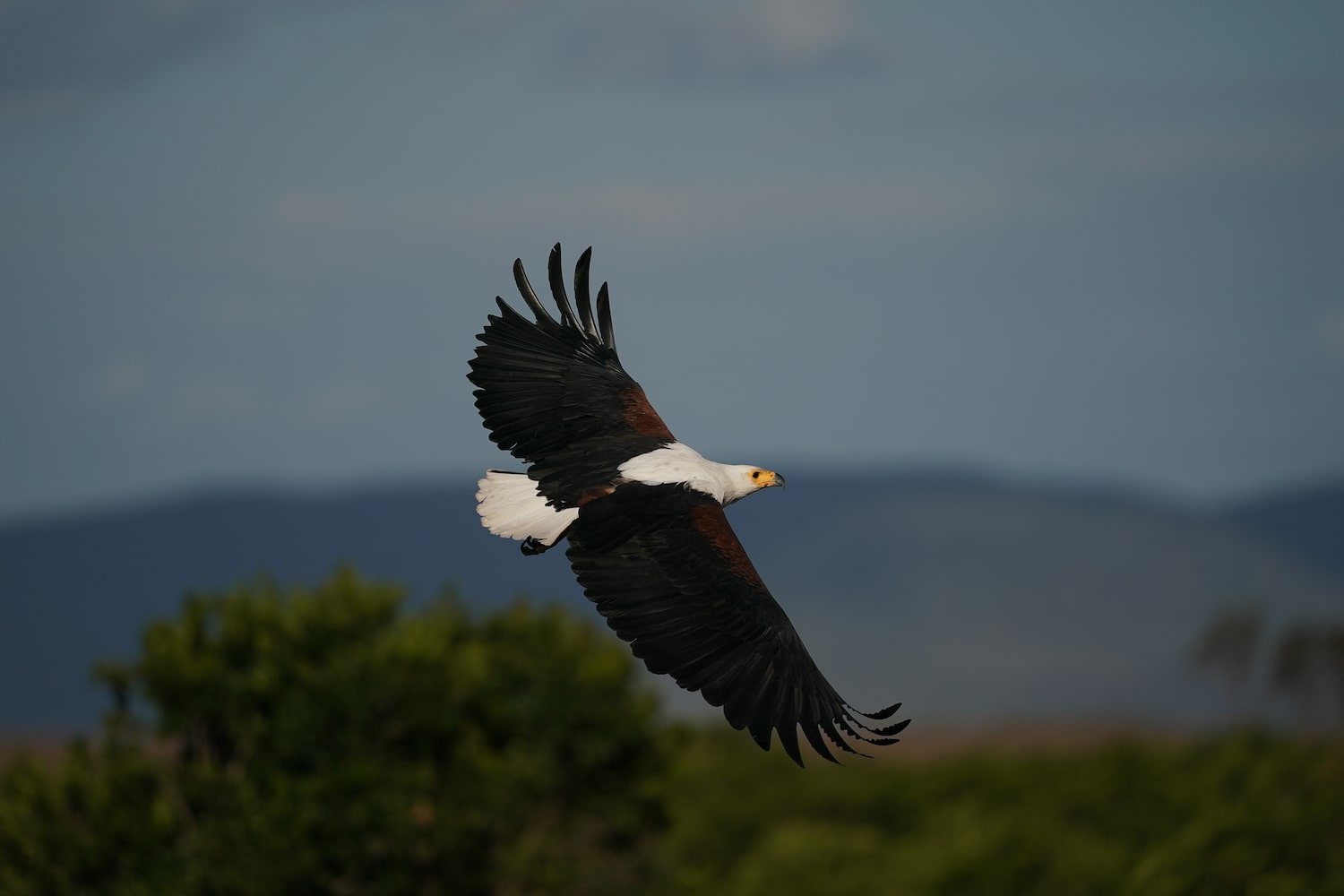 eagle-in-flight-the-mountains-alpha-7III