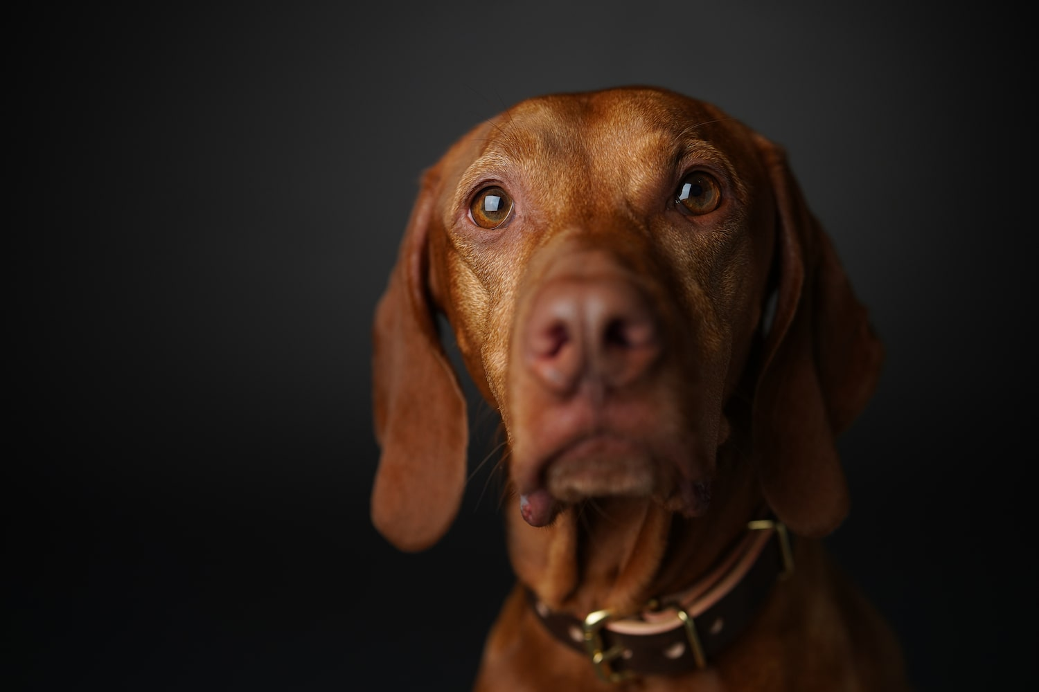 close-up-portrait-brown-dog-alpha-7RIV